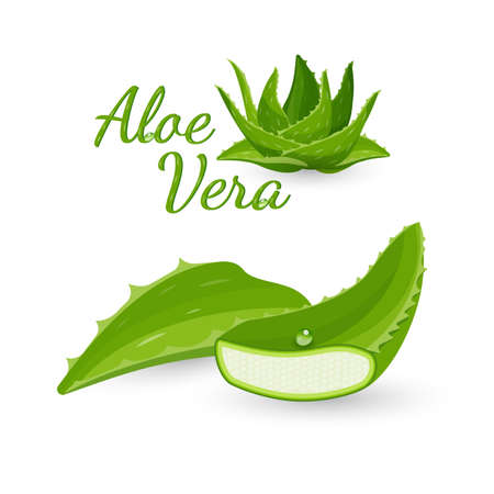 aloe vera plant: Aloe vera plant and its parts, colorful vector flat illustration