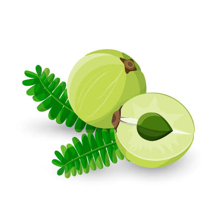 vitamins: Amla fruit vector illustration. Phyllanthus emblica, emblic myrobalan, myrobalan, Indian gooseberry, Malacca tree, or amalika. Edible fruit. Used in medicine, culinary, inks shampoos hair oil
