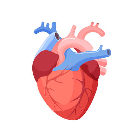 Anatomical heart isolated. Muscular organ in humans and animals, which pumps blood through blood vessels of circulatory system. Heart diagnostic center sign. Human heart cartoon design. Vector Illustration