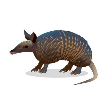 anteater: Armadillo isolated on white. Realistic placental mammal with leathery armour shell. Anteater and sloth icon. Little armoured one turtle rabbit. Used in the study of leprosy. Vector illustration