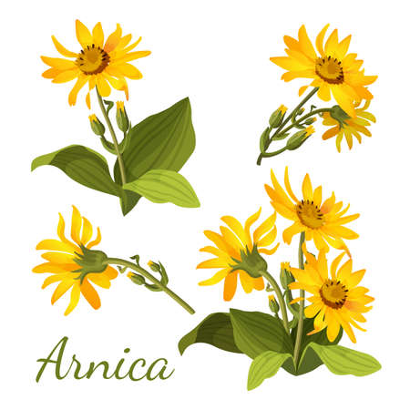 Arnica floral composition. Set of flowers with leaves, buds and branches. Vector illustration for use in web design, print or o visual areas. Sunflower family yellow botany medical aromatherapy element 일러스트