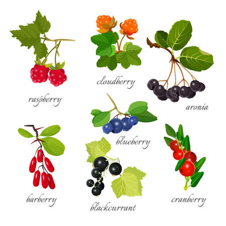 Set of berries with leaves botanical vector illustration. Illustration