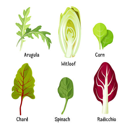 radicchio: Collection of different plants arugula, witloof, corn, chard, spinach, radicchio