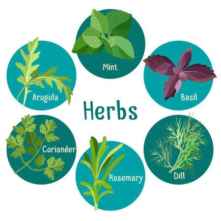 dill: Ilustration of arugula leaves, mint, basil, coriander, rosemary and dill. Illustration