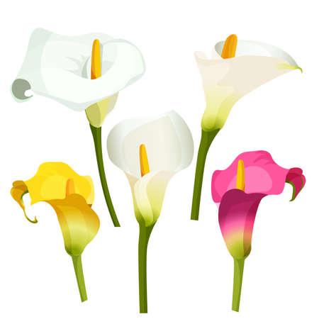 lily: Collection of coloured arum lilies on white. Zantedeschia, calla lily