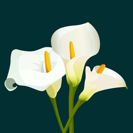 flowers bouquet: Bouquet of white calla lilies on dark green background