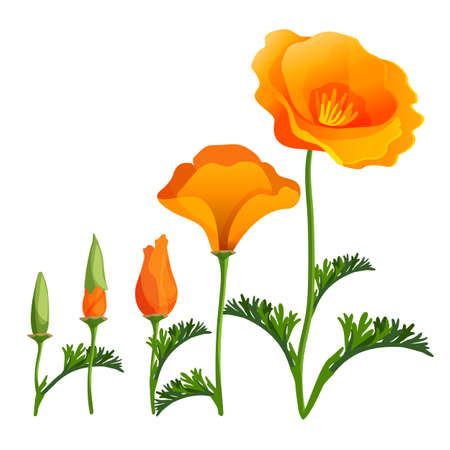 papaver: Poppy ascending order or stages of growth. Vector realistic illustration