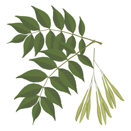 Ash tree leaves isolated on white background. Vector realistic illustration Illustration