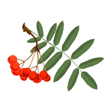 awaking: Rowan with green leaves and red berries isolated on white background.