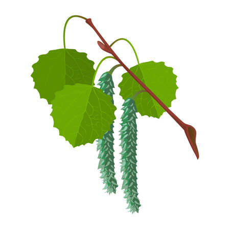 Aspen with leaves and male flowers isolated. Realistic vector