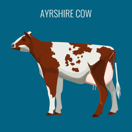 female animal: Ayrshire cows isolated on white. Vector illustration of dairy cattle Illustration