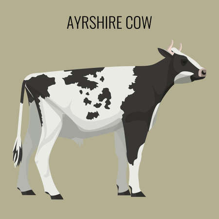 ruminant: Ayrshire cows isolated on white. Vector illustration of dairy cattle Illustration