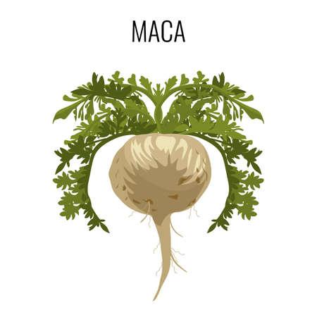 treatment plant: Maca ayurvedic medicinal herb isolated. Root vegetable medicinal plant Illustration