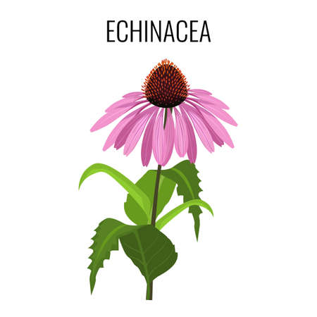 Echinacea ayurvedic herbaceous flowering plant isolated on white