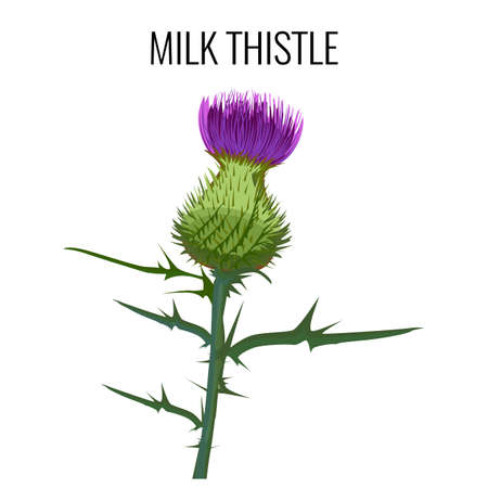 Milk thistle isolated on white background. Blessed milkthistle,
