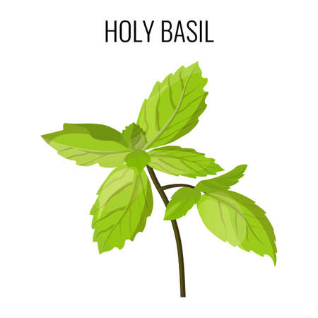 Holy basil isolated stem with green leaves.