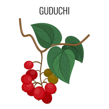 red berries: Guduchi branch with red berries and leaves isolated on white background.