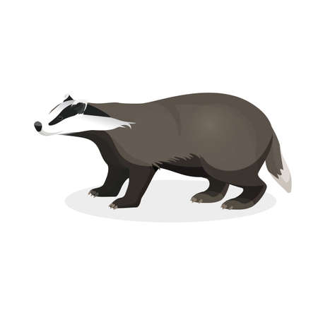 Badger on short legs in realistic style isolated on white. Illustration