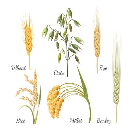 보리, 밀, 호밀, 쌀, 기장 및 녹색 귀리. 벡터 일러스트 레이 션