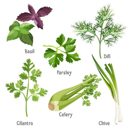 Basil, parsley and dill, fresh cilantro, stem of chive, celery