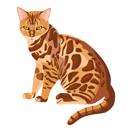 Bengal cat isolated on white. Selective breeding of domestic cats