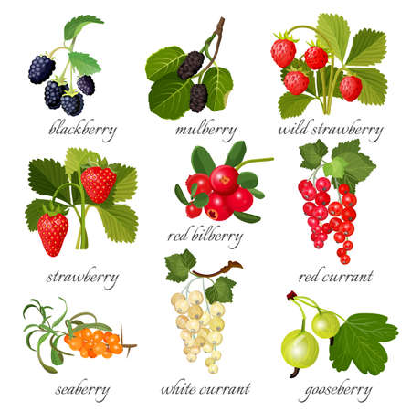 Black blackberry and mulberry, wild strawberry, red bilberry, currant, seaberry. Çizim