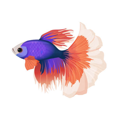 Betta small colorful, freshwater ray-finned fish realistic vector illustration.