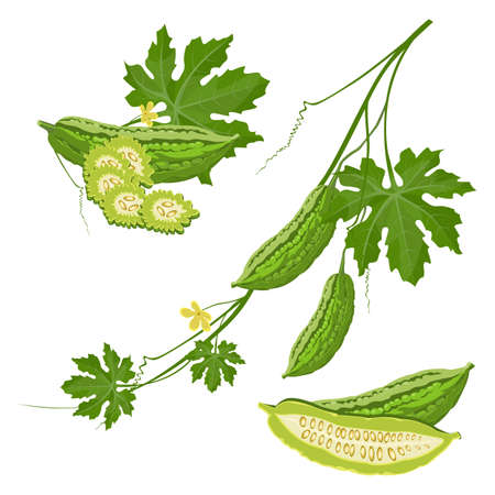 Bitter melon with green leaf and flower on brunch realistic vector Illustration