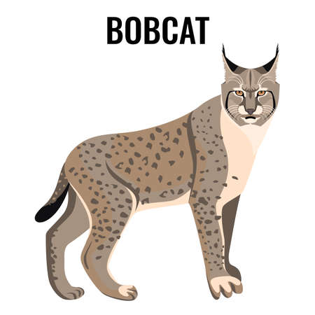 Full length spotted bobcat vector illustration isolated. Wildlife animal cat specie with coat in grey and white colors with sharp ears Illustration