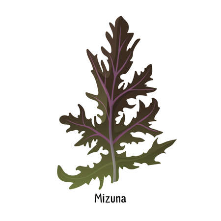 Mizuna kyona Japanese greens or spider mustard cultivated crop plant Illustration