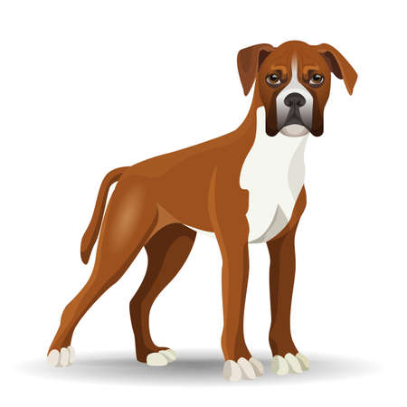 white coat: Boxer dog full length vector illustration isolated on white. Medium-sized, short-haired breed of canine with smooth and tight-fitting coat