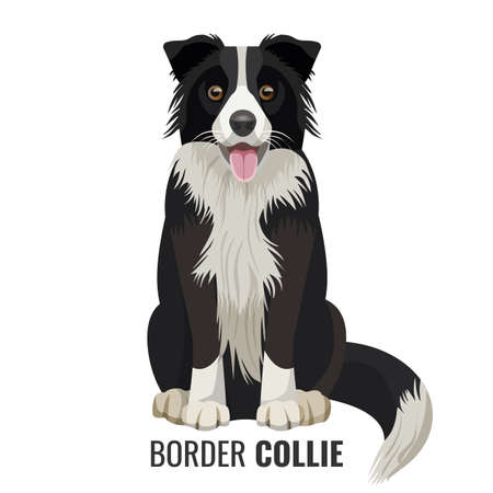 Border Collie pet sits isolated on white with its name below vector illustration. Big domestic realistic dog with open mouth Stock Illustratie