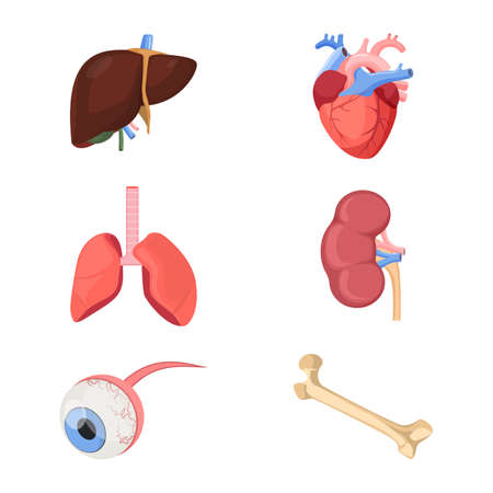 digestive: Medical human organs realistic heart, two lungs, kidneys with arterial and venous veins, eyeball, liver and bone set of vector illustrations isolated on white for 3D printer Illustration