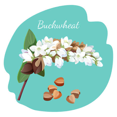 its: Buckwheat plant and its seeds isolated illustration on grey