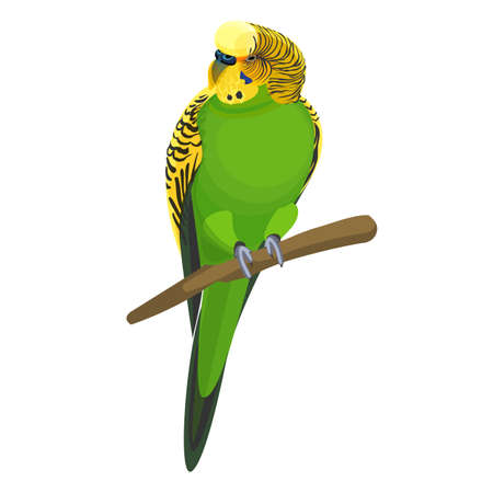 Budgerigar common or shell parakeet informally nicknamed budgie vector illustration