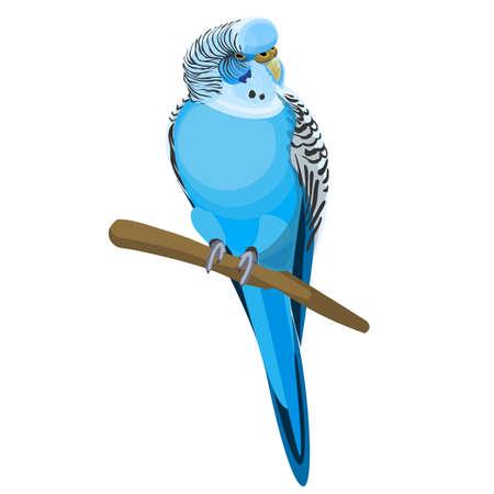 Budgerigar common or shell parakeet informally nicknamed budgie vector illustration