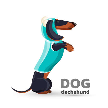 Dachshund dog in blue sweater with hooded side view vector 일러스트