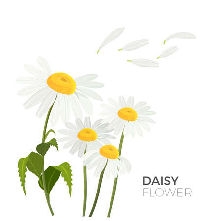 Daisy flowers with white petals and yellow middle realistic vector 版權商用圖片 - 90282366