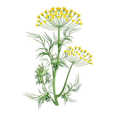 Dill herb with small yellow bloom and green stem Çizim