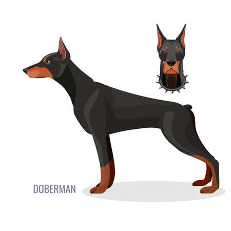 Gorgeous doberman with dark smooth fur stands in profile and head in collar with spikes. Isolated cartoon flat vector illustrations on white background.