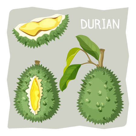 Durian fruit in sharp cracked skin with piece of branch Illustration