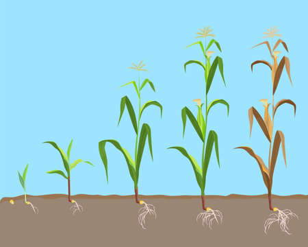 Dying plant of sweet corn from small sprout till dried plant vector illustration