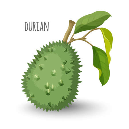 Exotic durian in sharp closed skin with leaves. Big fruit from Thailand that has unusual taste qualities and strong smell isolated cartoon vector illustration. Illustration