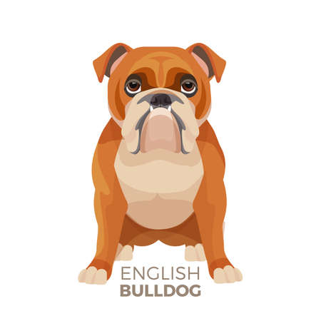 British Bulldog medium-sized breed vector illustration Illustration