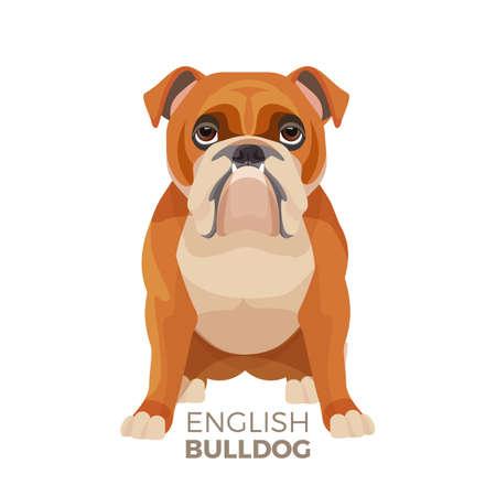 Mittelgroße Zucht-Vektorillustration der britischen Bulldogge