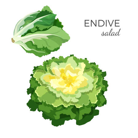 Endive salad - fresh organic vegetable vector illustration  イラスト・ベクター素材