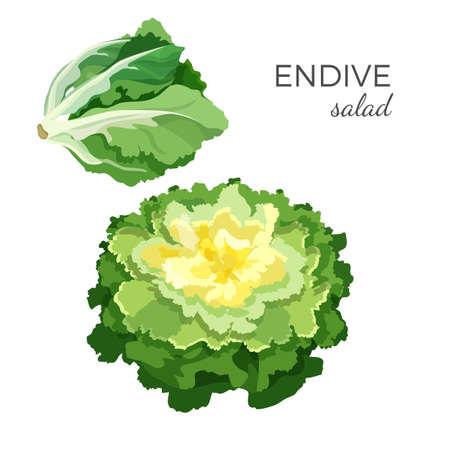 Endive salad - fresh organic vegetable vector illustration Illustration