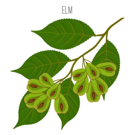 Elm leaves with serrate margins, fruit round wind-dispersed samara Illustration