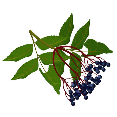 Wild ripe elderberry on branch with green leaves