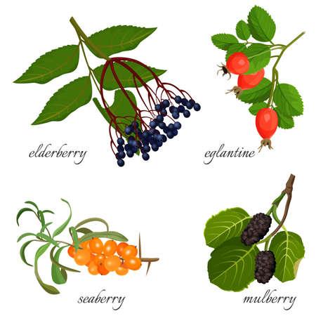 Blue elderberry, ripe eglantine, fresh seaberry and sweet mulberry Illustration